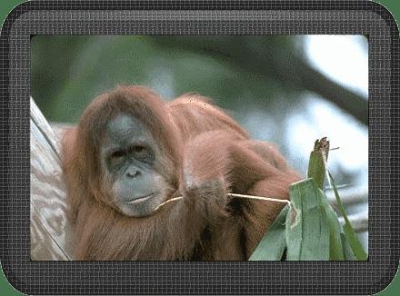 chimp-glass